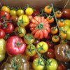 Nutbourne Heirloom Tomatoes *Now Available* 12/03/16