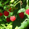 Local Raspberries NOW Available